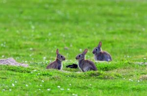 Rabbit control in a field. Shooting rabbits with an air rifle