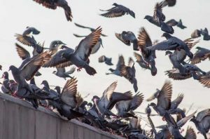 Shooting pigeons in barns